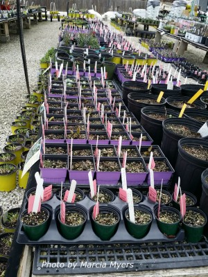 Long row of tables for native plants