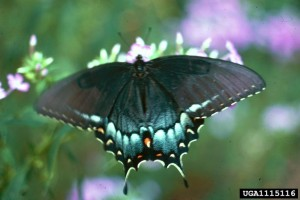 Spicebush swallowtail, courtesy of Charles T. Bryson, USDA Agricultural Research Service, Bugwood.org