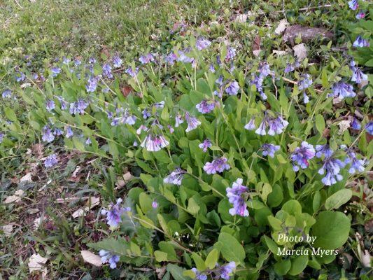 Bluebells (Mertensia virginica) in Deer Lake Savanna