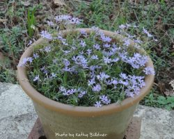 sand-phlox-containerpot-kb