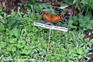 butterfly photo and sign that says American painted lady - pussytoes