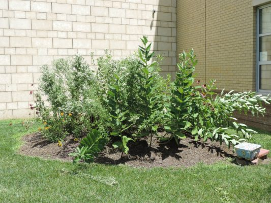 Native plants at Saul Mirowitz Jewish Community School