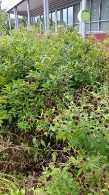 Native plants at Crossroads College Preparatory School