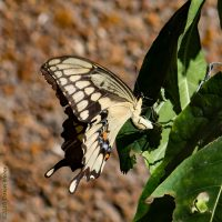 Giant swallowtail butterfly laying an egg on wafer ash