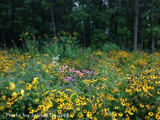 Black-eyed Susans (Rudbeckia hirta) and purple coneflowers (Echinacea purpurea)