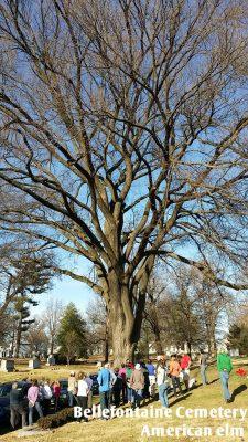 huge elm tree with people