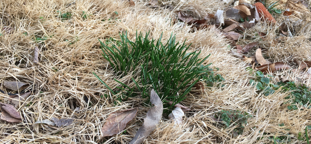 Invasive Plant Tip Dig Up Star Of Bethlehem As It Emerges Wild