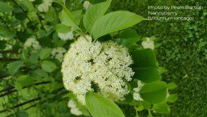 Large cluster flower