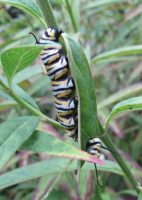 Yellow, black, and white caterpillar on leaf