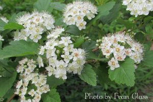 White flower clusters