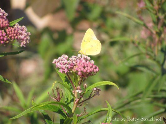 Yellow butterfly on pink milkweed